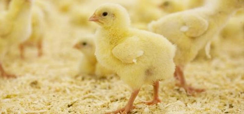 En stackars kyckling